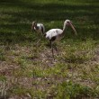 Ibises foraging for food on a background of green grass — Stock Photo #47434457