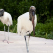 Two wood storks foraging for food on a background of green grass — Stock Photo #47434533