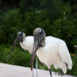 Two wood storks foraging for food on a background of green grass — Stock Photo #47434537