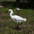 Horizontal image of white snow egret on a background of green grass. White Crane — Stock Photo #47434551
