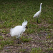 Horizontal image of white snow egret on a background of green grass. White Crane — Stock Photo #47434559