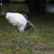Wood stork foraging for food on a background of green grass — Stock Photo #47434587
