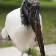 Portrait of a Wood stork on a background of green grass — Stock Photo #47434591