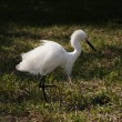 Close portrait of a white snow egret — Stock Photo #47732883