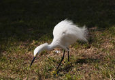 Close portrait of a white snow  egret — Stock Photo