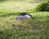 Black crowned night heron. — Stock Photo