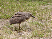 Baby birds, chick night heron — Stock Photo