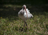 Ibises  foraging for food — 图库照片
