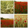 Stock Photo: Collage poppies