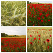 Collage poppies — Stock Photo #12011860