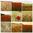 Collage poppies — Stock Photo #12011901