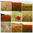 Collage poppies — Stock Photo