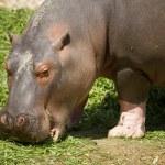 Small hippo — Stock Photo #12249617