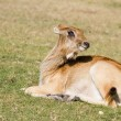 Antelope in the grass - Stock Photo