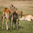 Antelope in the grass — Stock Photo