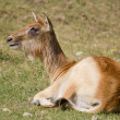 Stock Photo: Antelope in the grass