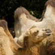 Camel Humps — Stock Photo