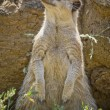 Stock Photo: Suricate or meerkat