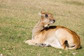 Antilopy v trávě — Stock fotografie