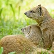 Mongoose — Stock Photo #12292479