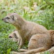 Mongoose — Stock Photo #12292725