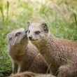 Mongoose — Stock Photo #12292744