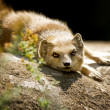 Mongoose — Stock Photo #12292909