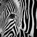 Zebra eye — Stock Photo