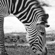 Zebra black and white — Stock Photo