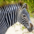 Zebra in the forest — Stock Photo #12296494