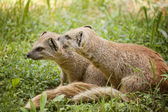 Mongoose — Stock Photo