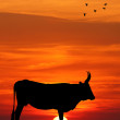 Cows at sunset — Stok fotoğraf