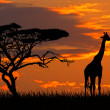Giraffe at sunset - Stock Photo