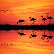 Flamingos at sunset — Stock Photo
