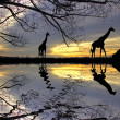 Stock Photo: Giraffe at sunset