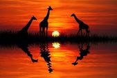 Giraffe at sunset — Stock Photo