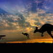 Kangaroos at sunset — Stock Photo #15378673