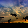 Kangaroos at sunset — Stock Photo