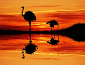 Ostriches in Arizona — Stock Photo