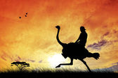 Race ostriches — Stock Photo