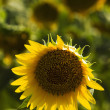Sunflower — Stock Photo #20868133