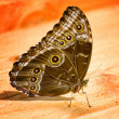 Morpho butterfly — Stock Photo #24553133