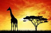Girafa ao pôr do sol — Fotografia Stock