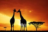 Giraffe silhouette — Photo