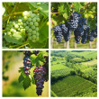 Collage of grape — Foto Stock