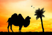 Dromedary at sunset — Stock Photo