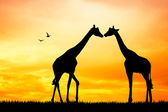 Giraffse in love at sunset — Stock Photo
