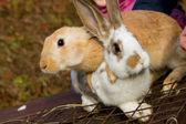 Bunnies — Stock Photo