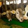 Cows in the stable — Stock Photo #40349397