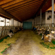 Cows in the stable — Stock Photo